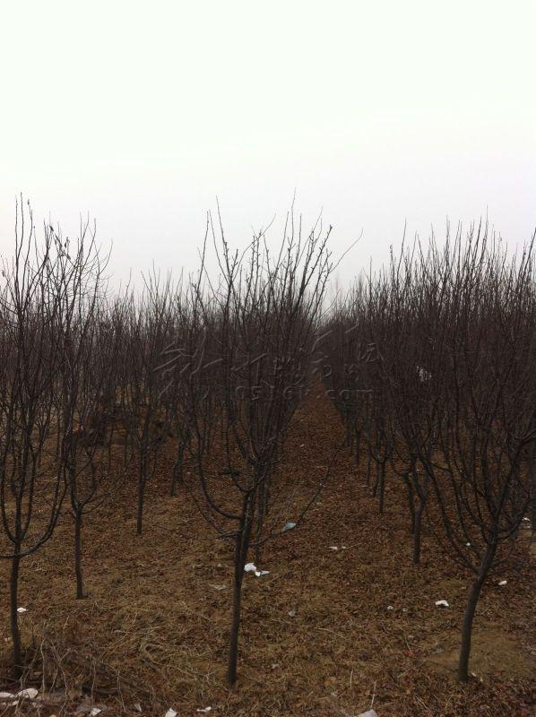 商铺咨询 出售木瓜树2000棵左右 出售木瓜树2000棵左右 整批 急 出售