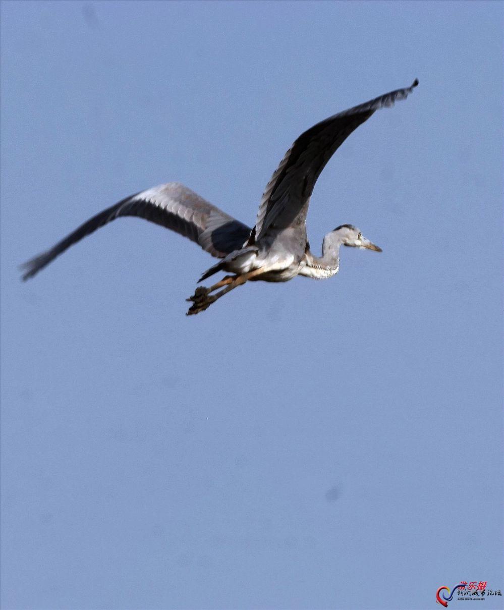 情感珍稀鸟 美天鹅在深秋光临大刀湾曾多次报道的我市新店镇南涧图片