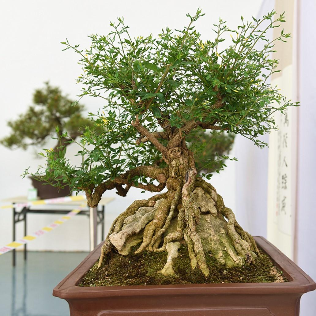 筋疙瘩盆栽