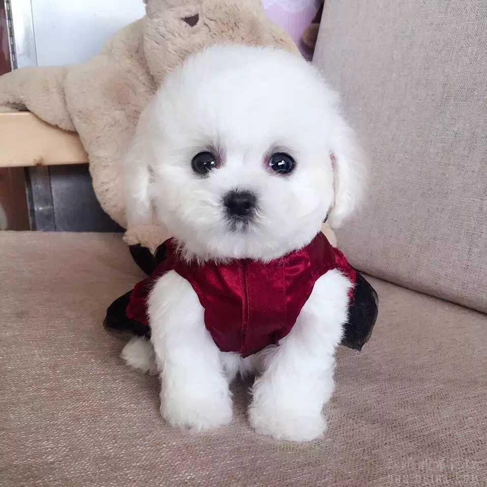 出售纯种泰迪 公母都有 可爱健康 欢迎上门看狗狗图片