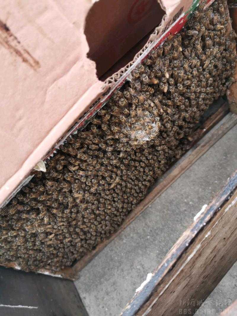 二手 供求 出售中华蜂蜂群 中华蜂是中国特有的一种土生土长的蜂种由于受到意大利蜜蜂的入侵,再加上产蜜性低,被蜂农一直遗弃,加之各种原因现基本灭绝